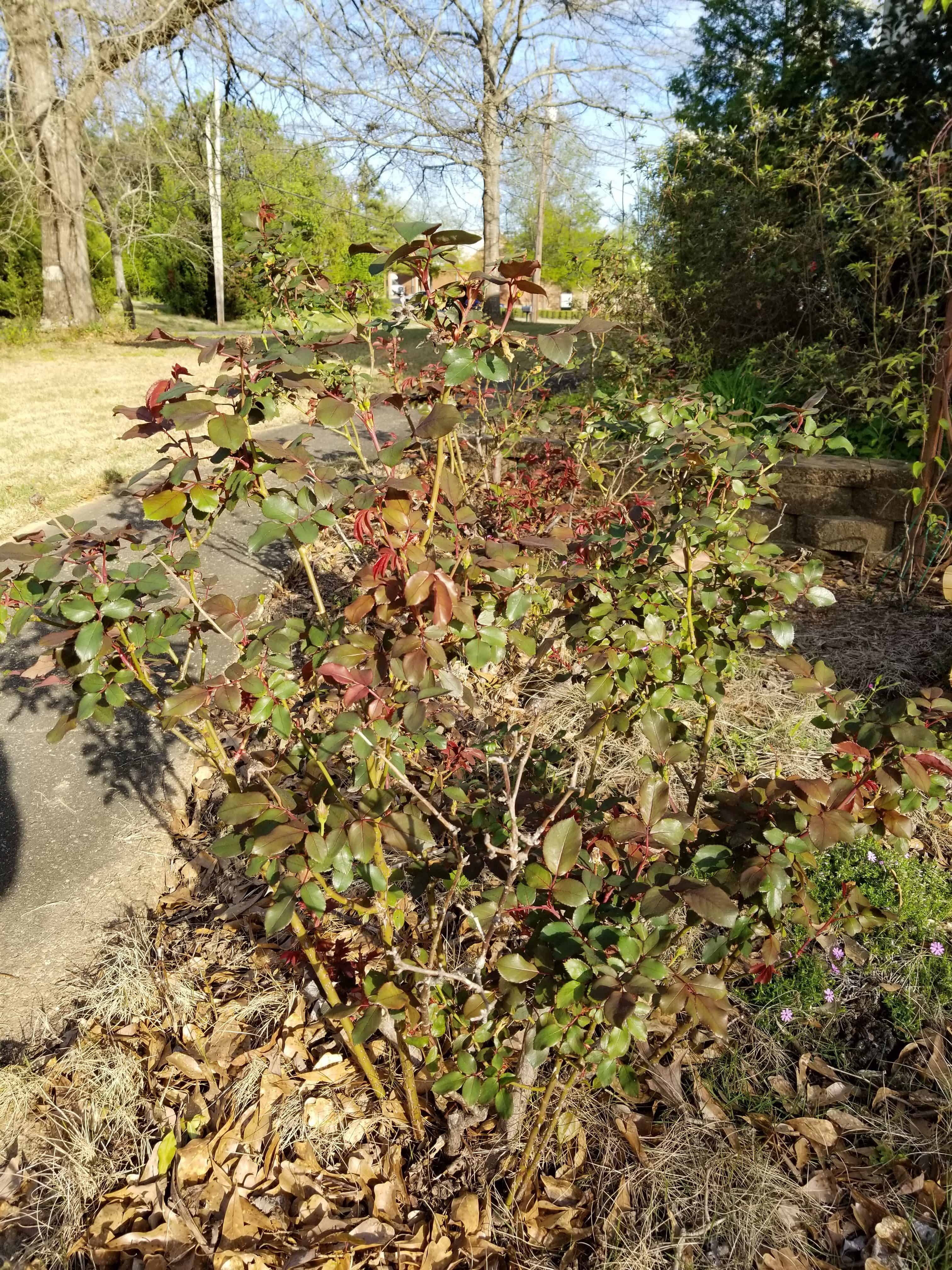 New growth on heavily pruned knock out roses