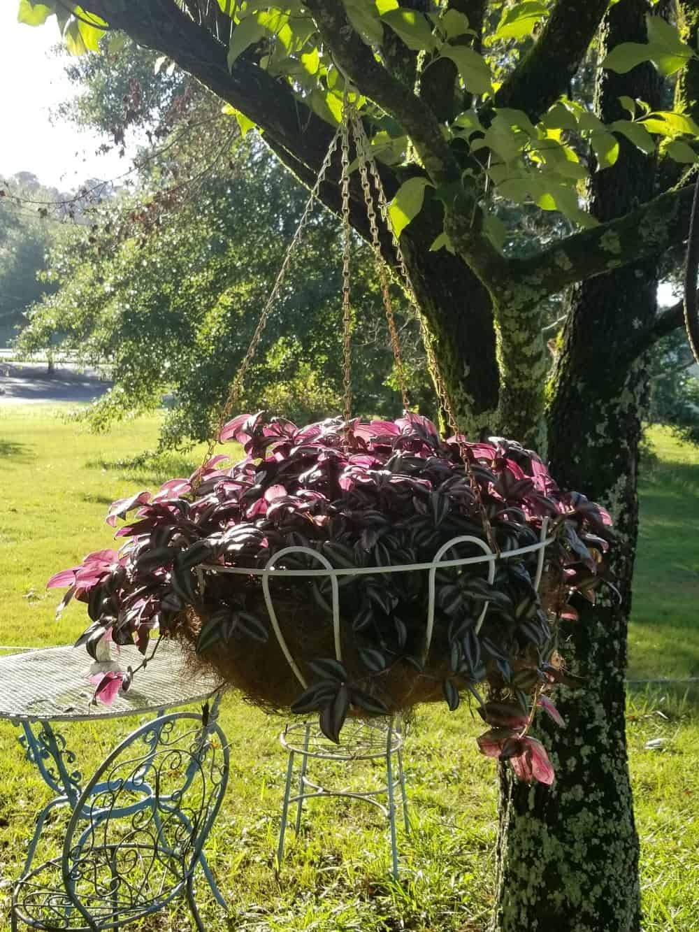White hanging basket overflowing with purple Wandering Jew