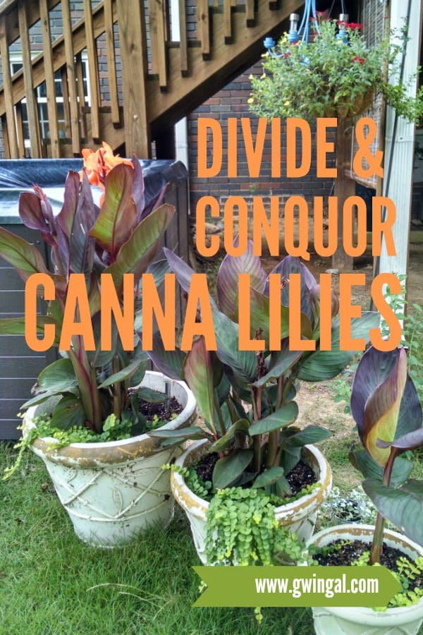 3 pots of burgundy canna lilies with orange blossoms
