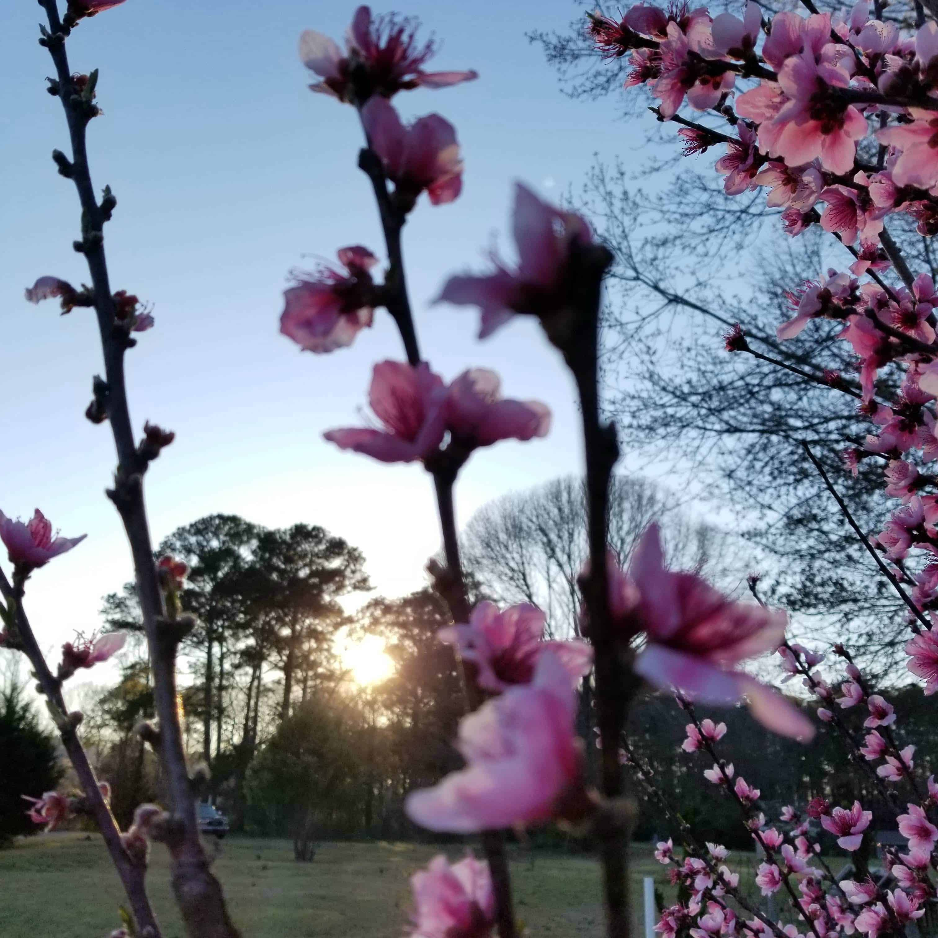 Sun setting in a blue sky through a shadow of trees and pink peach blossoms