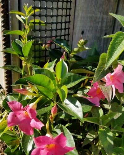 Pink Mandevilla growing on trellis