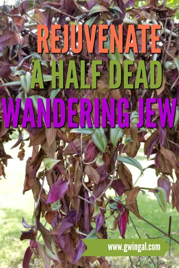 hanging basket with half dead wandering jew plant