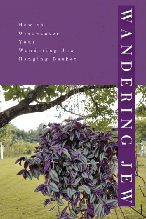 How to overwinter your wandering jew hanging basket
