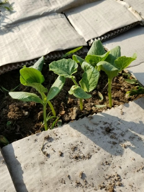 4 pumpkin seedlings sprouted out of the ground and surrounded by cardboard