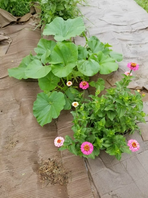 Pumpkin plants at 1 month and zinnias