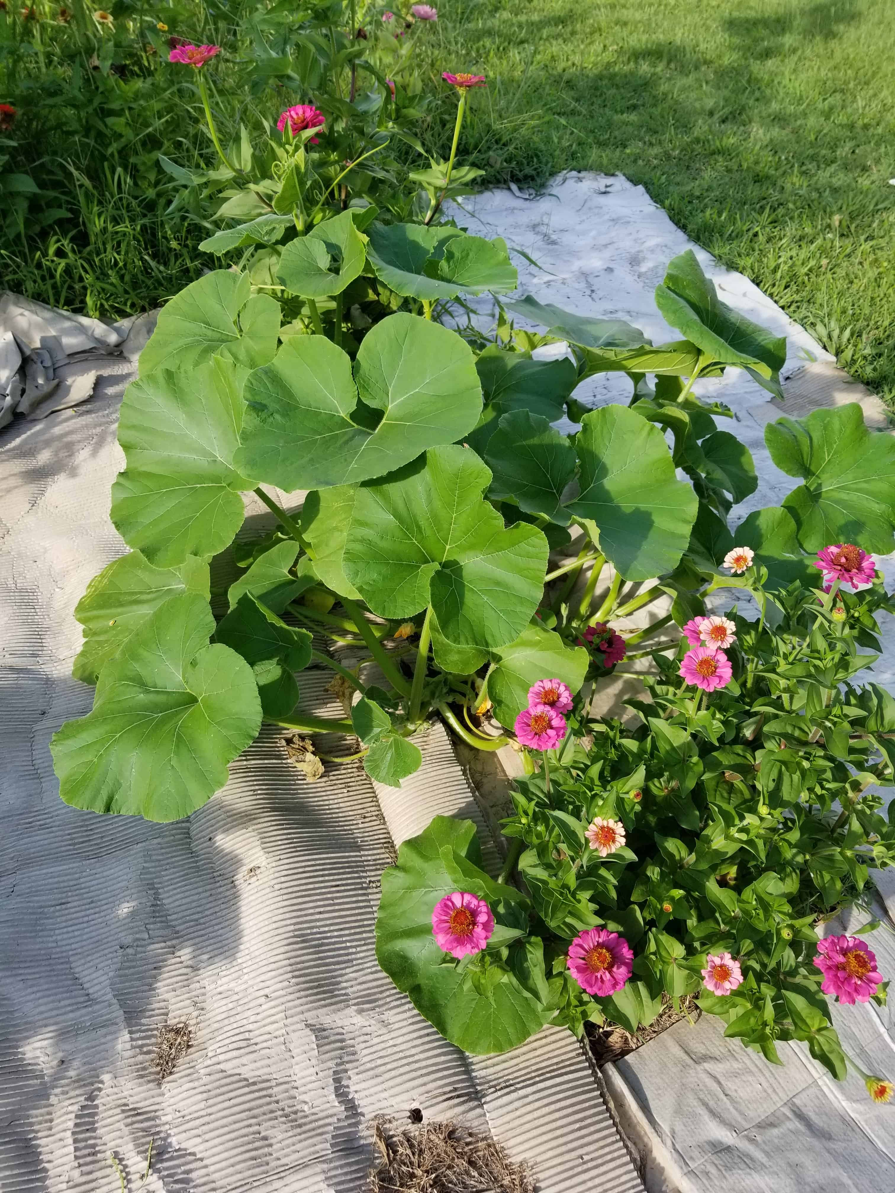 Large green pumpkin leaves and pink zinnias