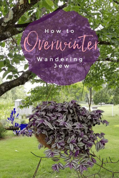 Save your wandering jew hanging basket