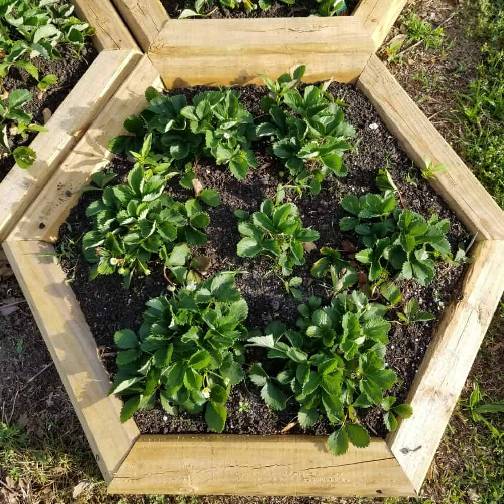 Hexagon shaped strawberry bed