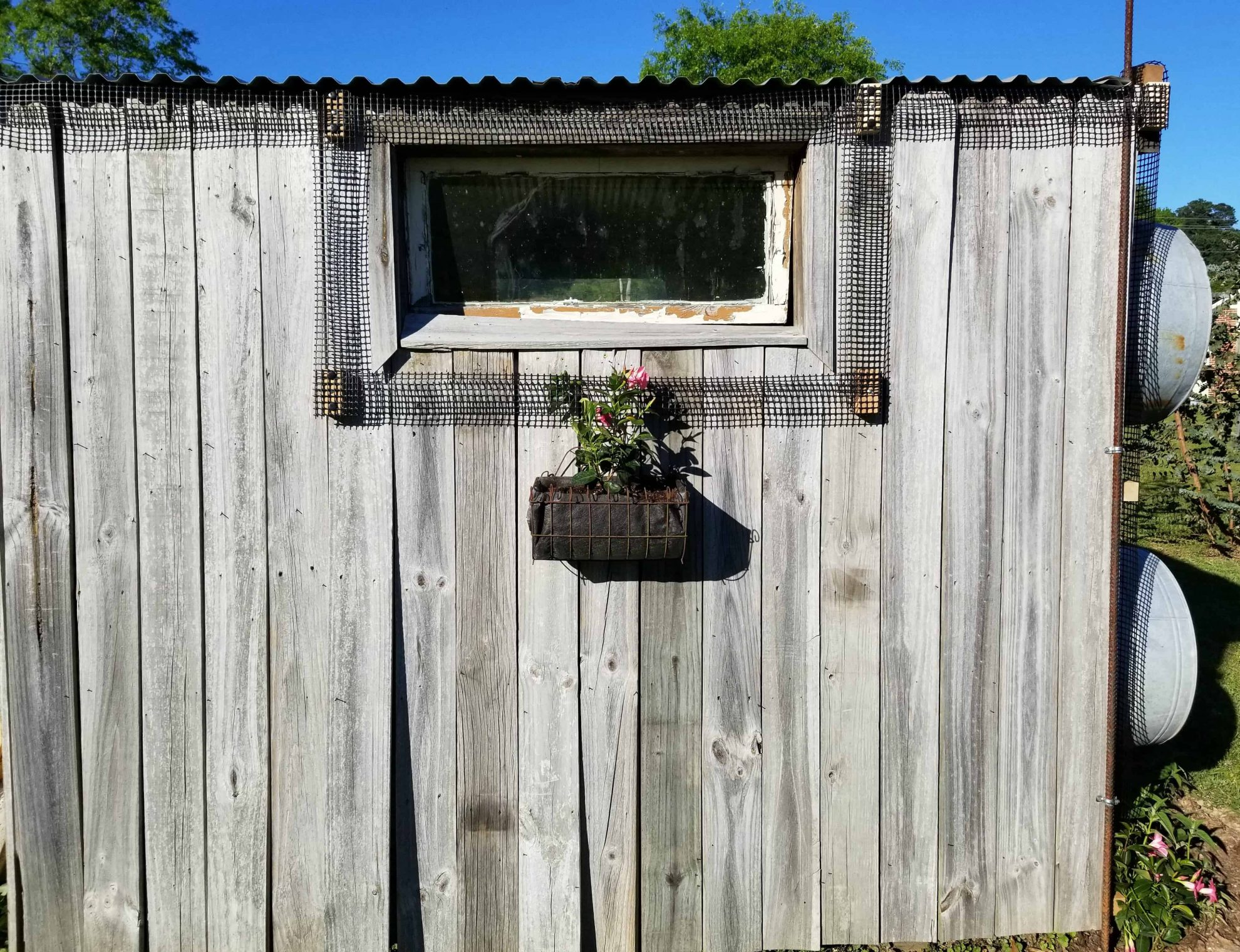 Scroll Trellis around window of shed