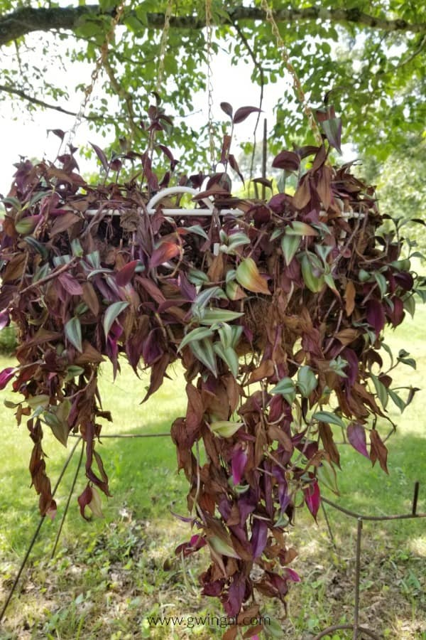 brown leaves on a hanging basket of wandering jew