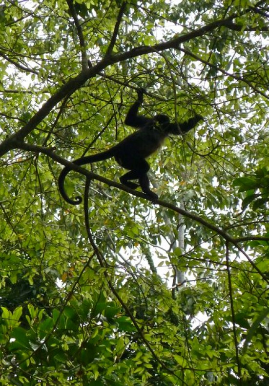 Costa Rica Monkeys (1)