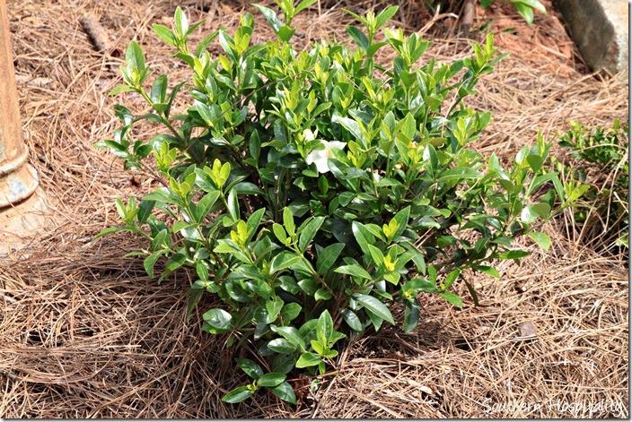 gardenia jubilation