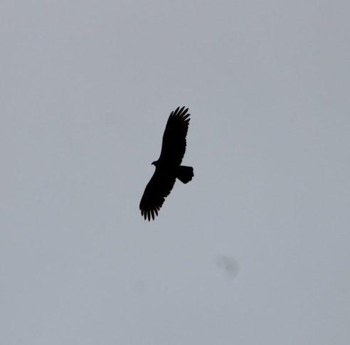 Eagle above it's nest Paynes Prairie State Park