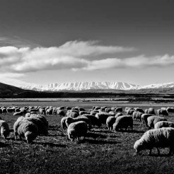 Sheep with the St Bathans Range in the background