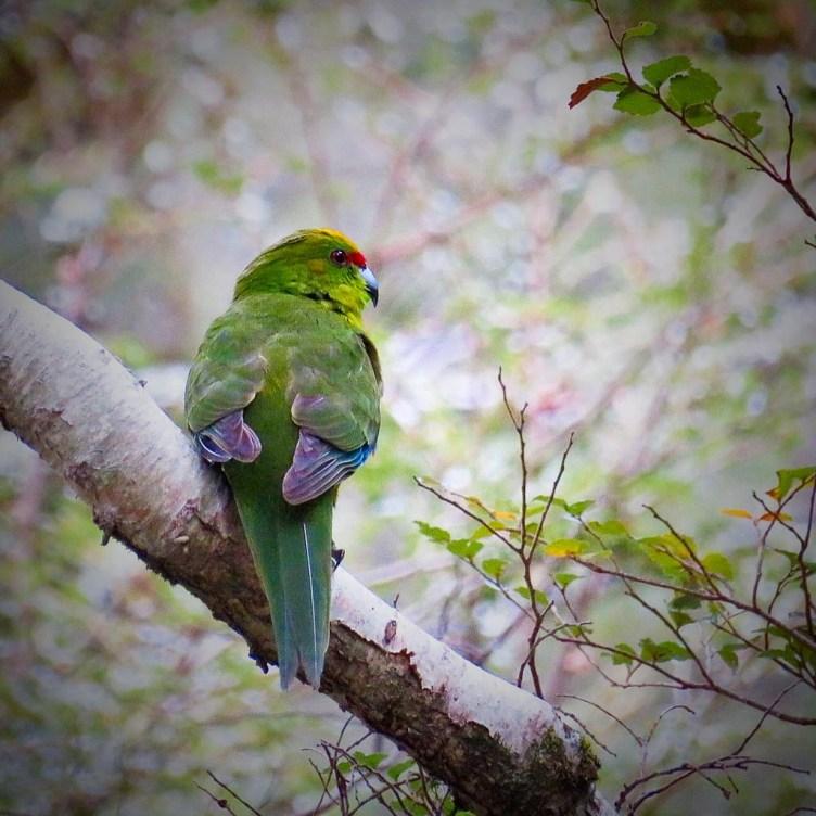 Yellow crown NZ parakeet
