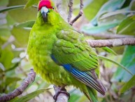 Red Crown NZ parakeet