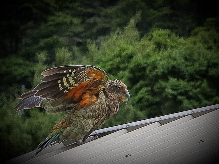 kea on a roof