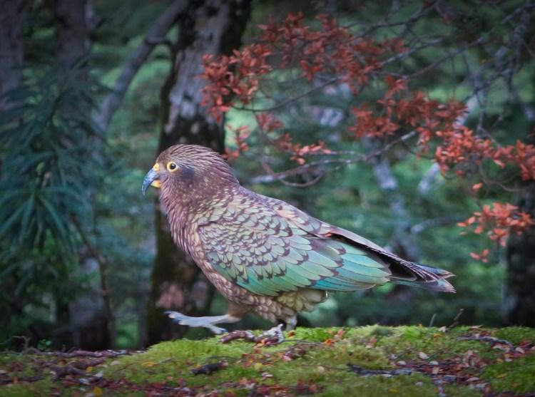 NZ juvenile kea