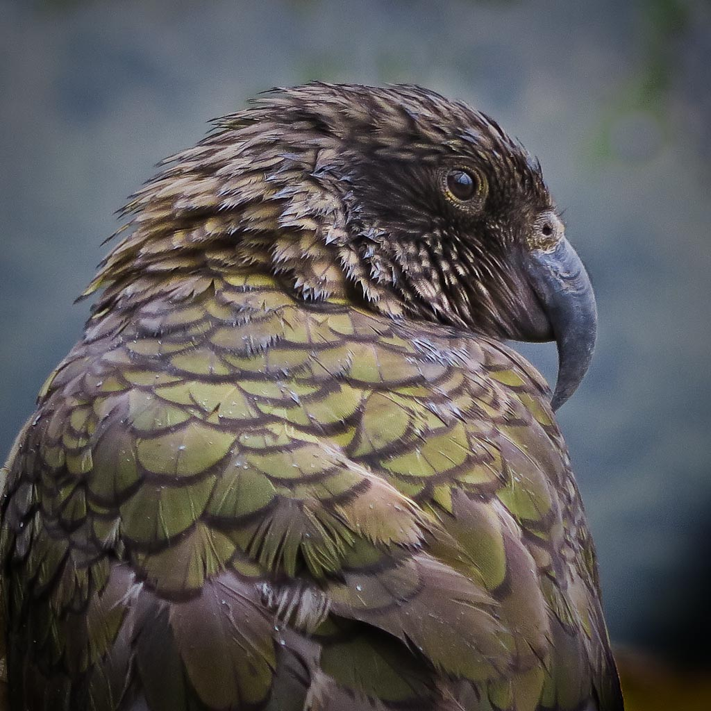 """The Boss"" and Edwin - a tale of two kea in Mt Aspiring National Park"