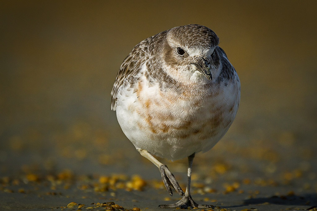 Saving the critically threatened southern New Zealand dotterel