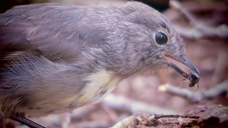 South Island robin feeding