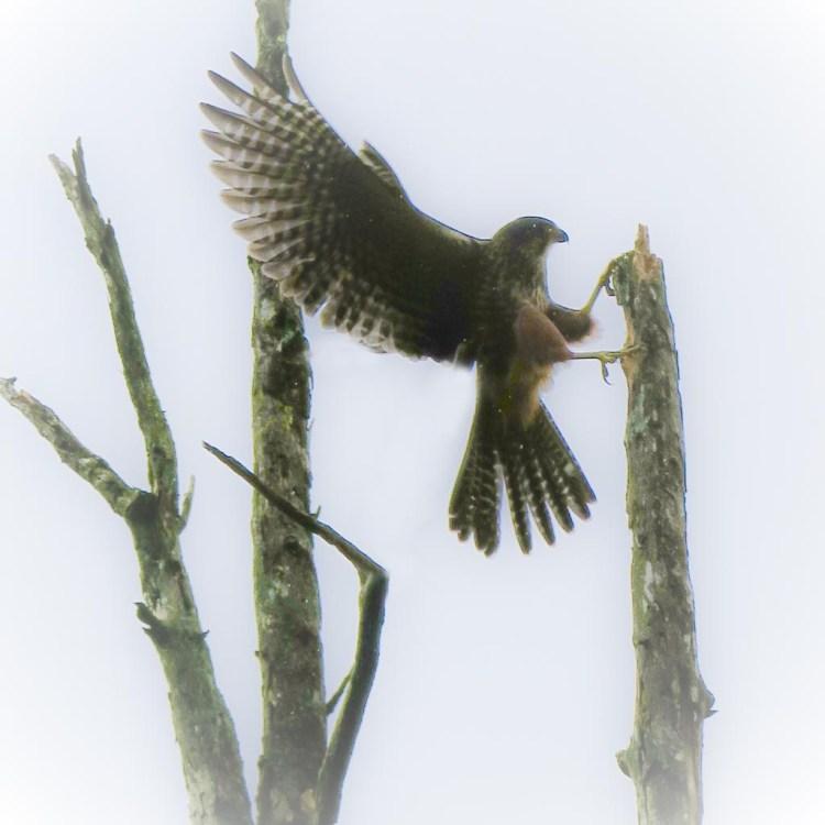 NZ falcon landing in a tree