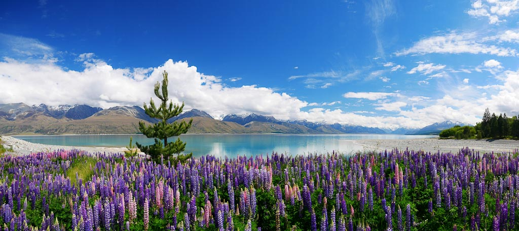The great New Zealand lupin debate and why it matters