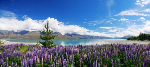 Lake Pukaki lupins and a wilding pine