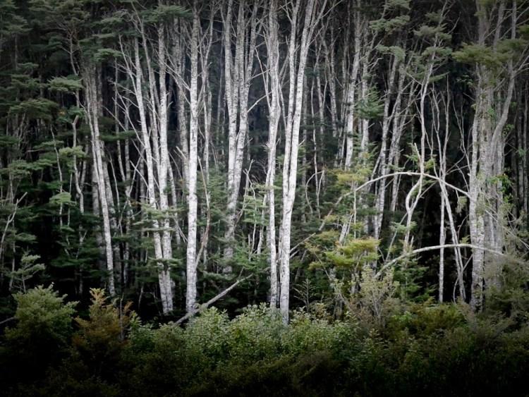 Silver Beech forest edge, Fiordland