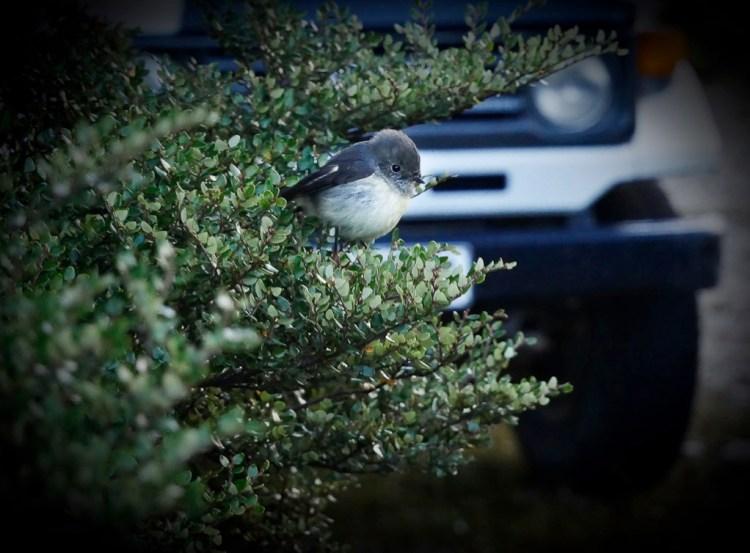Fiordland robin