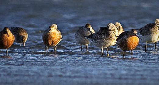 Godwits in trouble on migration from New Zealand to breeding grounds in Alaska