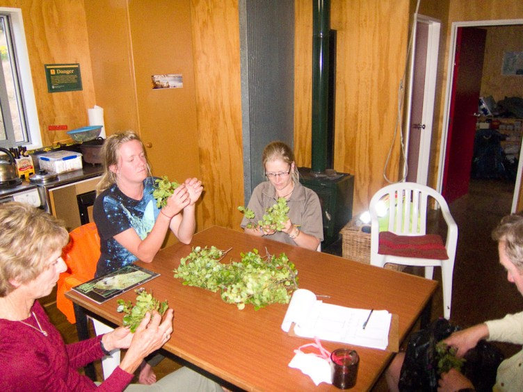 DOC staff and volunteers counting beech seeds