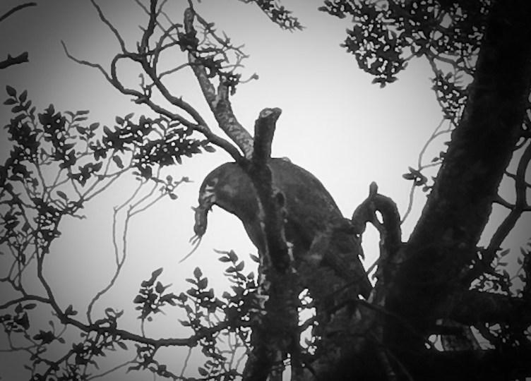 NZ falcon / kārearea with a mouse