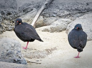 catlins, black oyster catchers