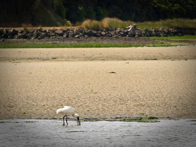 Spoonbill feeding, Catlins, Otago, NZ
