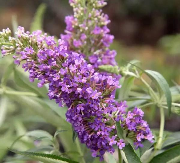 Purple Stalk Flowering Plants