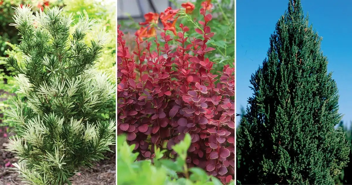 7 tall and slender shrubs for tight spaces