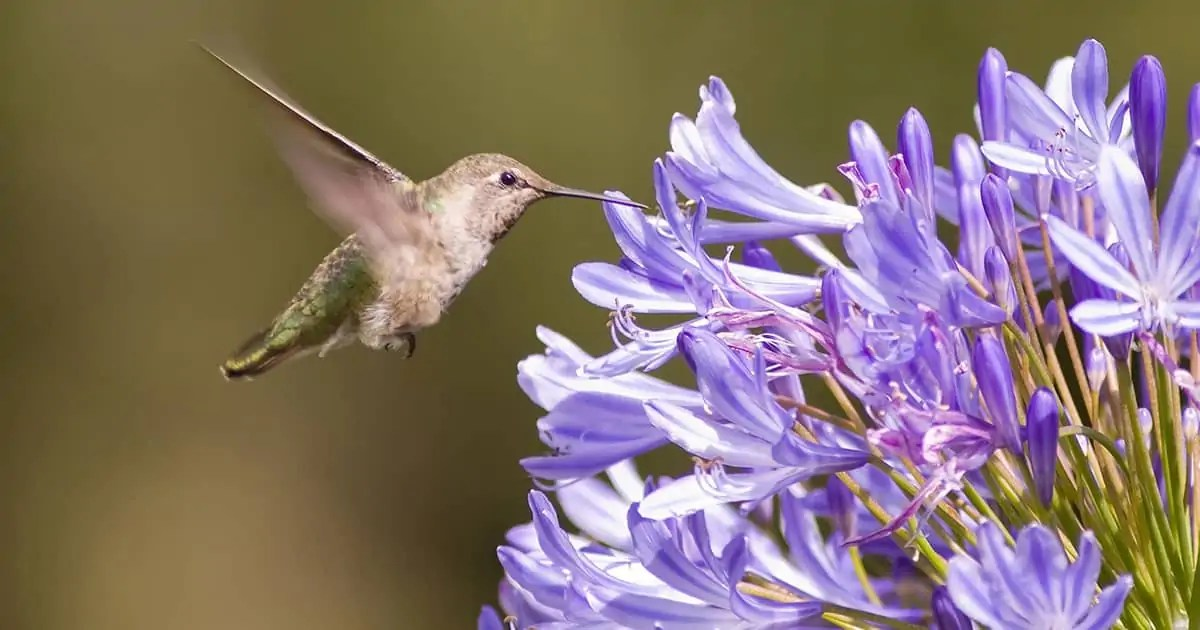 hummingbird on purple agapanthus