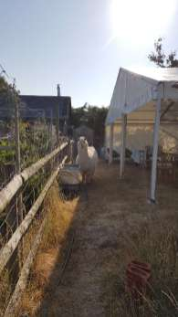 An inquisitive alpaca having to share the garden with one of our marquees for a family gathering.