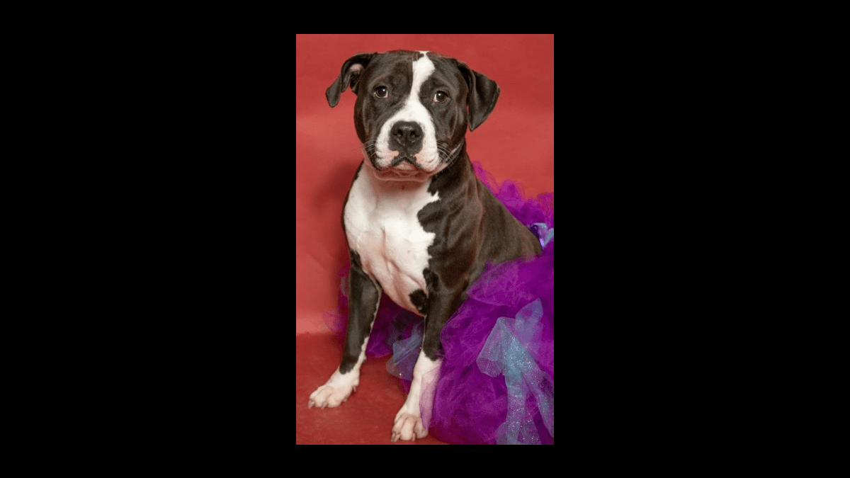 Pets In Need In Southern Maryland Dog of the Week: Barbie