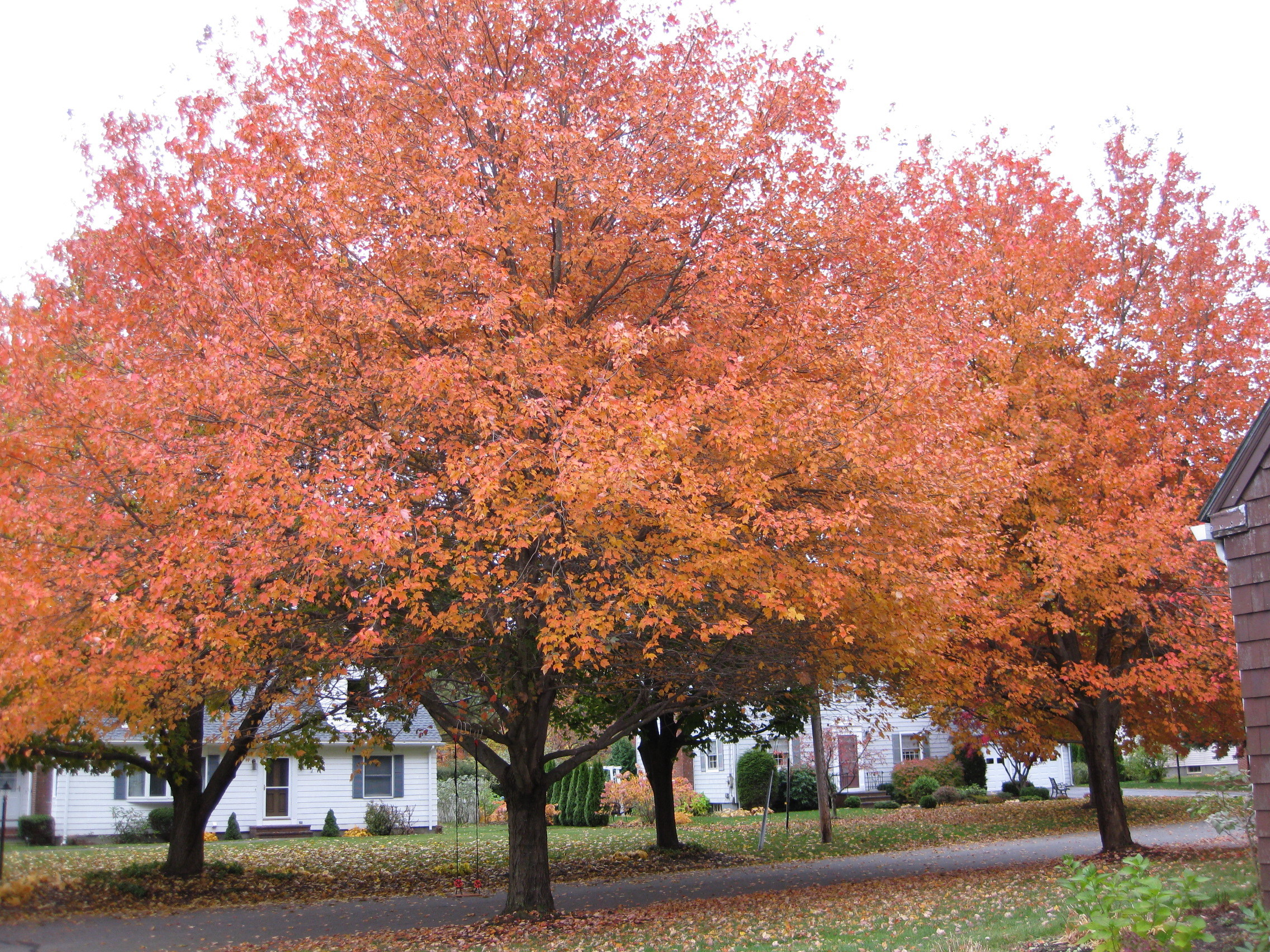 Fall Trees 2009
