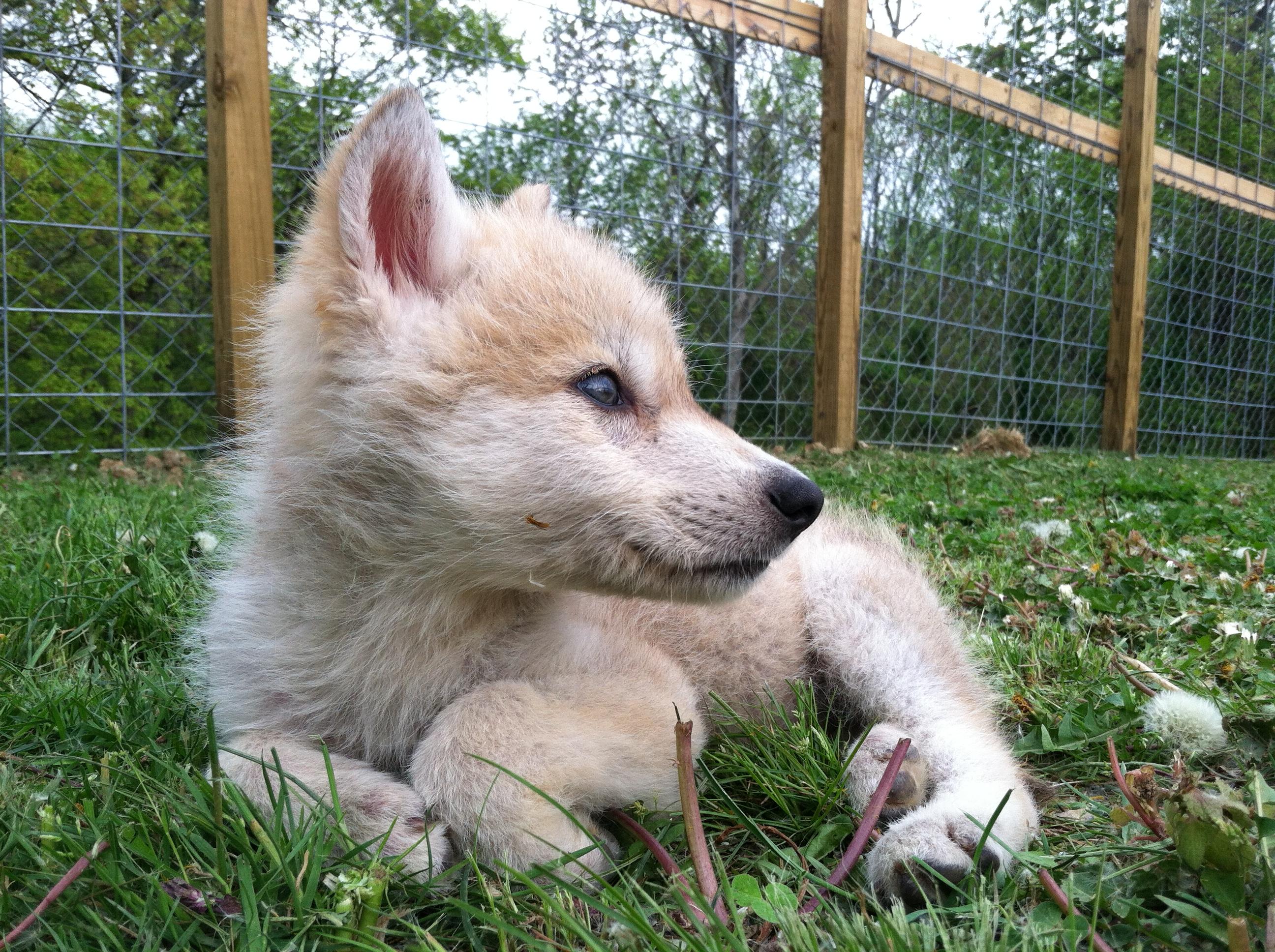 Wolfdog Misrepresentation | Southern Ohio Wolf Sanctuary