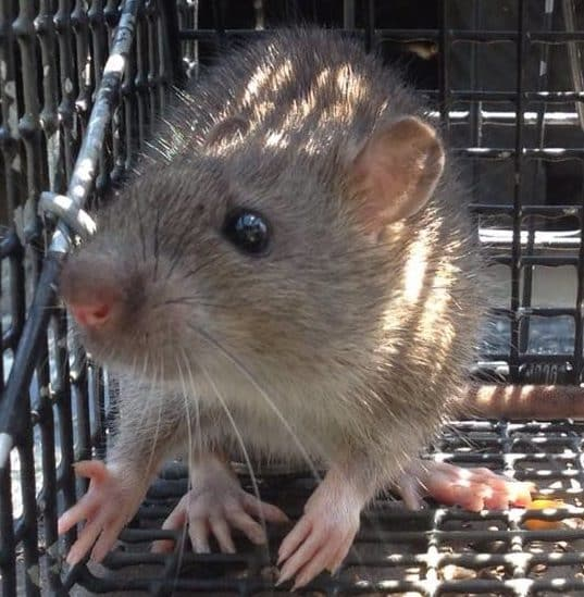 RAT trapping