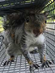 SquirrelTrapping