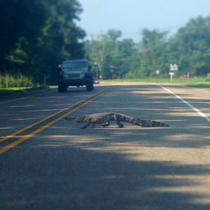 Why Did The Alligator Cross The Rode?