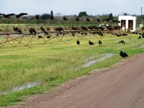 turkey-vultures-at-the-sod-farm