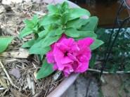 Double Cascade Petunia