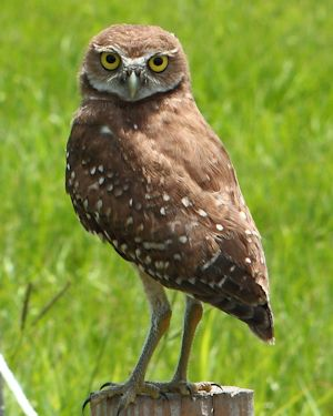 BurrowingOwl_TH8850