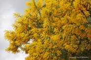 leongatha-victoria-wattle-blossom