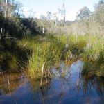 Lovely swamp, North Lawson Park June 2009. Photo: P Ardill